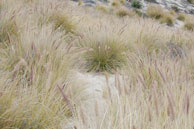 Fountain grass spreading across rare dune habitat in Point Mugu State Park.