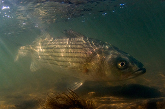 During the 1980s, wildlife managers said striped bass like this one were overfished. Now, it appears that a weather pattern known as the Atlantic Multidecadal Oscillation may have been a contributing factor to the declines.