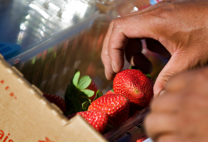 Contracted workers harvest strawberries on Tuesday at Terry Farms Inc., a family-owned and -operated fruit and vegetable company in Ventura.