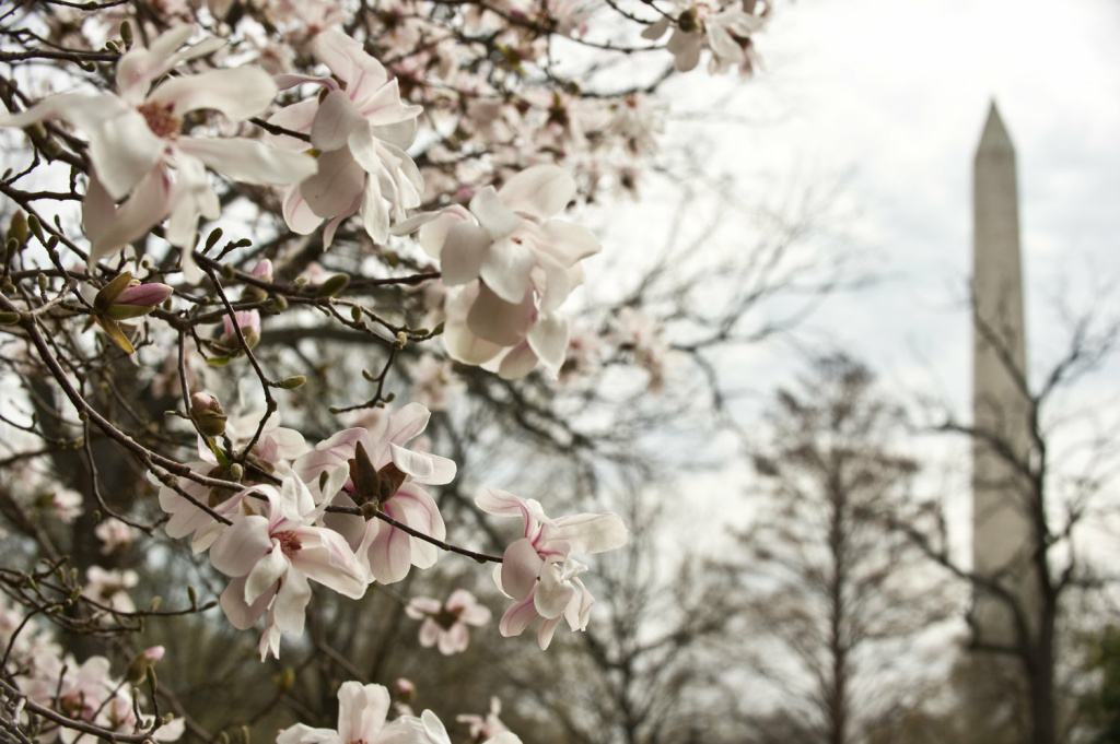 A magnolia blooms near the Washington Monument in Washington in March 2012.