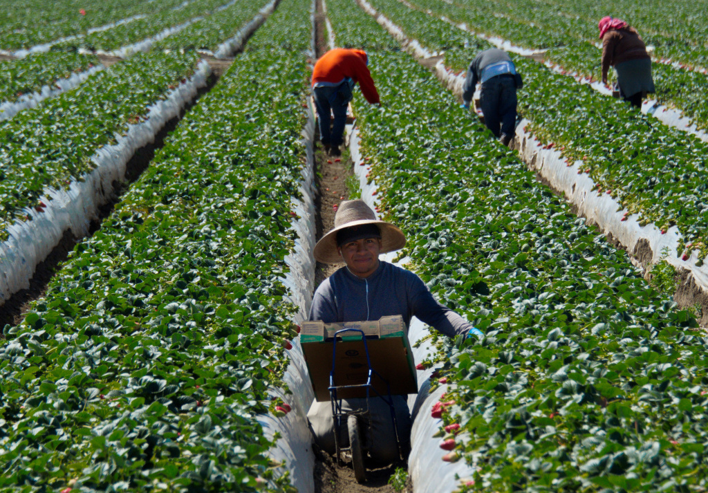 File: Migrant workers harvest strawberries at a farm March 13, 2013 near Oxnard, California.