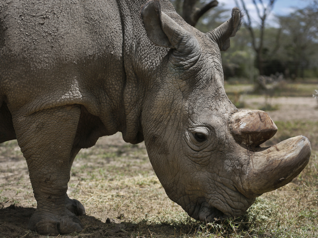 Sudan, the world's last male northern white rhino, grazes at the Ol Pejeta Conservancy in Kenya in May 2017. The 45-year old rhino's health started deteriorating in late February.
