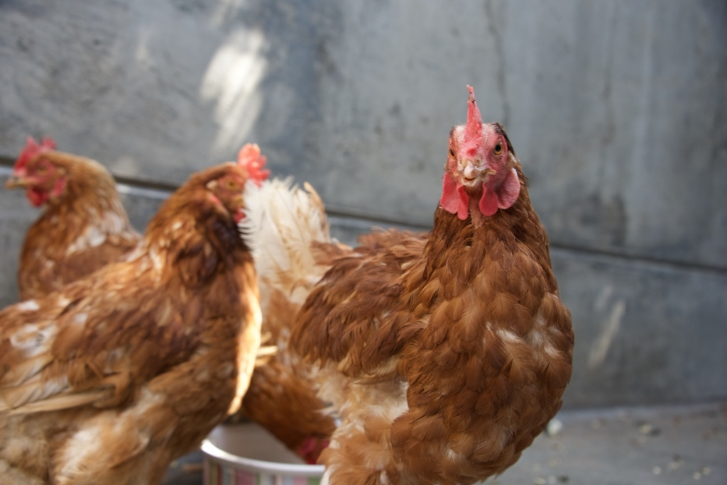 Abandoned Chickens Land at Pasadena Humane Society