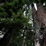 Sequoias And Coastal Redwoods Appear To Flourish Despite Climate Change