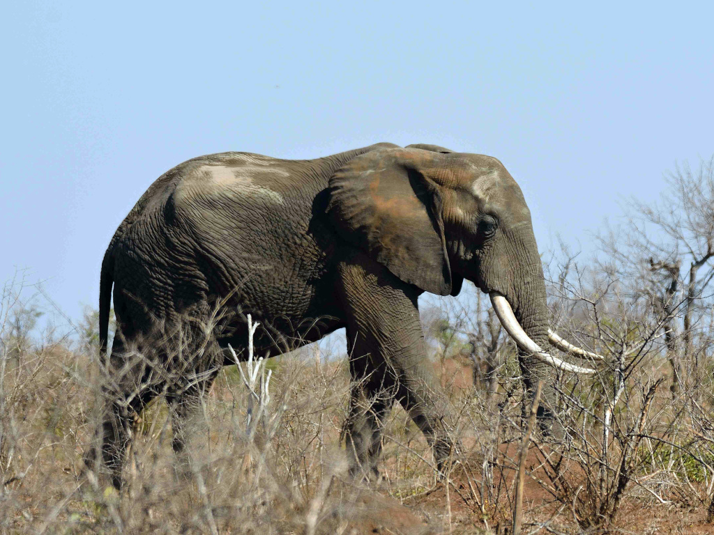 Officials at Kruger National Park in South Africa said a suspected rhino poacher was killed by an elephant and his remains eaten by lions. Pictured here, an elephant in the park in 2016.