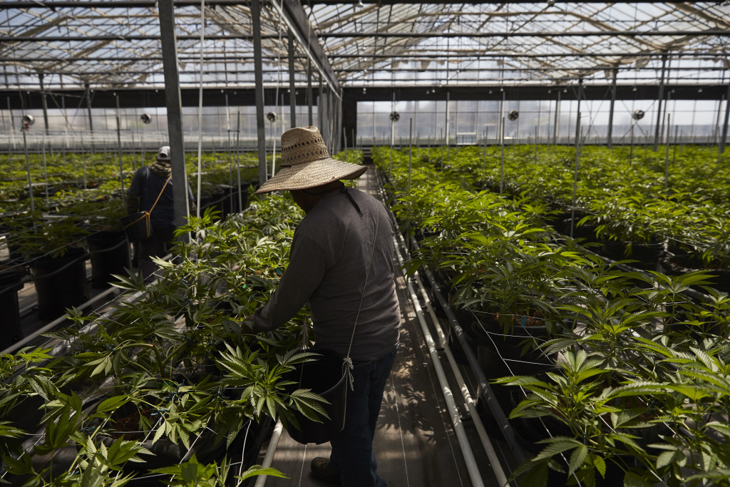 In this Thursday, April 12, 2018 photo, workers work in a greenhouse growing cannabis plants at Glass House Farms in Carpinteria. Santa Barbara County amassed the largest number of marijuana cultivation licenses in California since broad legalization arrived on Jan. 1, nearly 800, according to state data compiled by The Associated Press.