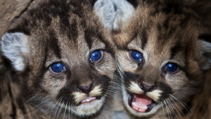 Kitten siblings P-46 and P-47 are seen at their den in the western Santa Monica Mountains in this photo provided by the National Park Service.