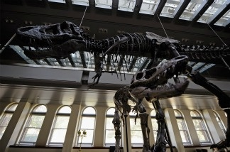 Thomas the Tyrannosaurus rex and a baby T-Rex, featuring three specimens of varying ages, are seen at the Natural History Museum of Los Angeles County are seen on Feb. 1, 2011.