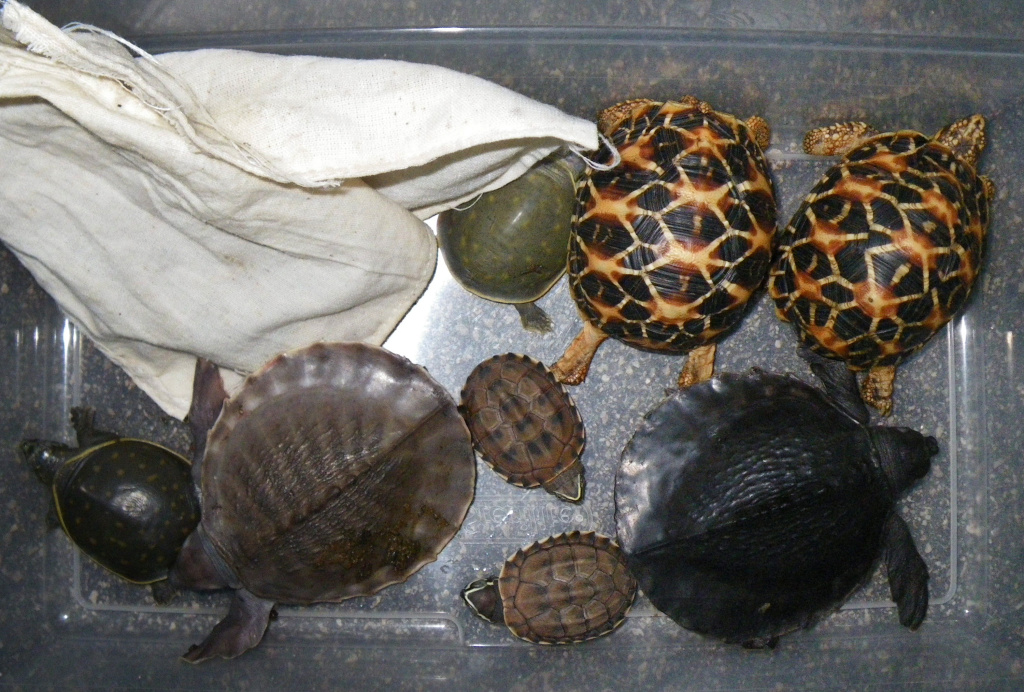 Two men, Atsushi Yamagami and Norihide Ushirozako both of Osaka, Japan, were arrested Jan. 7, 2011, at Los Angeles International Airport for smuggling more than 50 live turtles and tortoises into the United States.