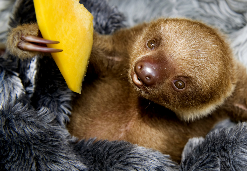 A baby two-toed sloth (Choloepus) eats fruit at the Aiunau Foundation in Caldas, some 25 km south of  Medellin, Colombia on September 15, 2012.