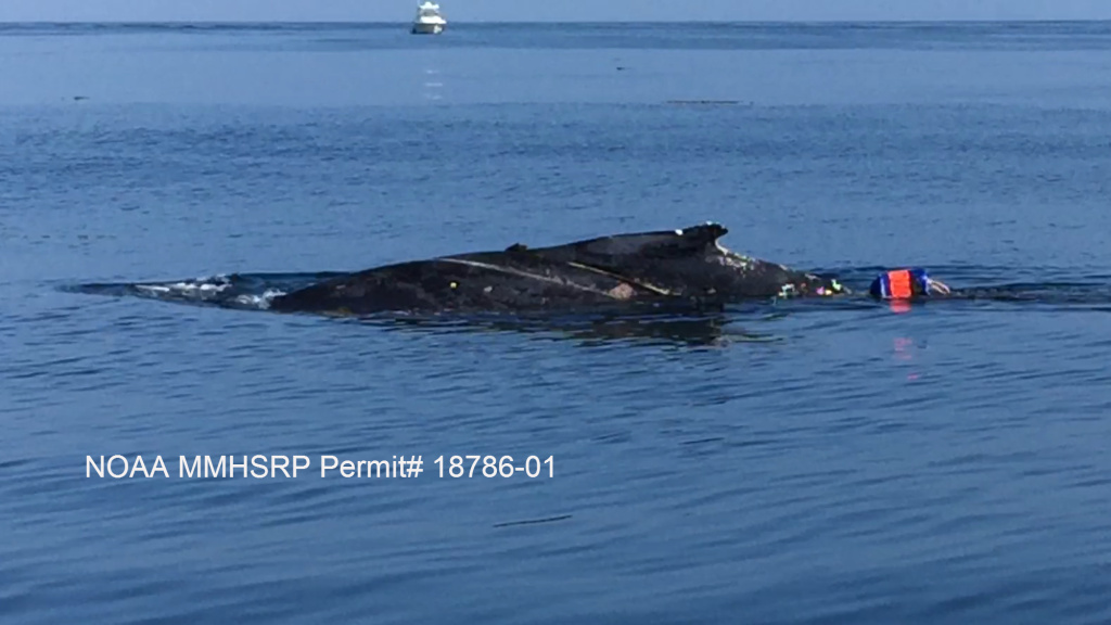 This whale is trailing one of two buoys off Palos Verdes on July 29.
