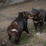 Two Tasmanian devil brothers are now on display at the LA Zoo, one of only four U.S. zoos to host the marsupials.