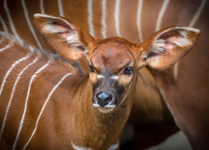 The male Eastern Mountain Bongo may live 20 years and grow to 800 pounds.