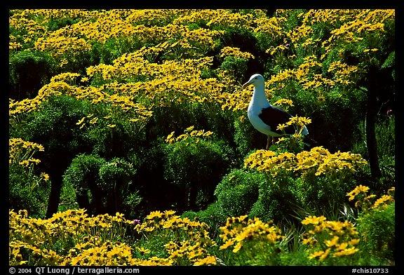 Anacapa Island's 'prehistoric-looking' Coreopsis flowers.