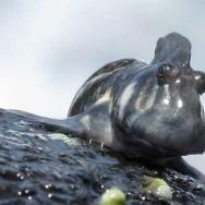 Indian Ocean amphibious blenny