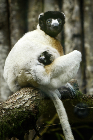 A Sifaka lemur named Holly comes outside