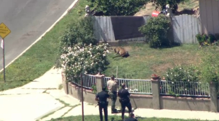 Authorities tranquilize a mountain lion after it ran loose on the John F. Kennedy High School campus and in a nearby Granada Hills neighborhood on Friday, April 15, 2016.