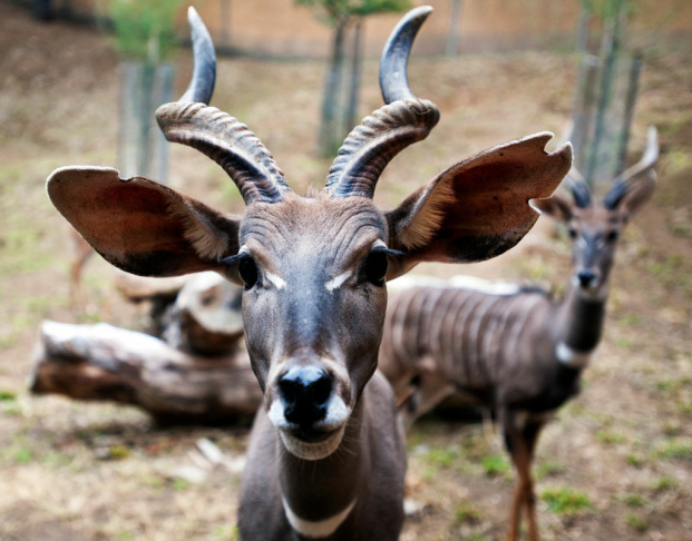 Four lesser kudus, a species of East African antelope, arrived at the Los Angeles Zoo in September and are now on exhibit in a hillside habitat.