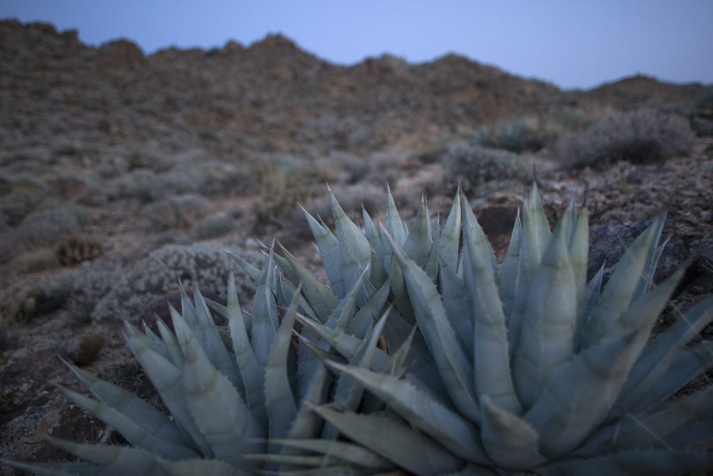 Agave plants are seen in desert mountains south of Palm Springs, California where agaves were harvested for the annual traditional agave roast on the Morongo Indian Reservation near Banning, California, April  11, 2015.