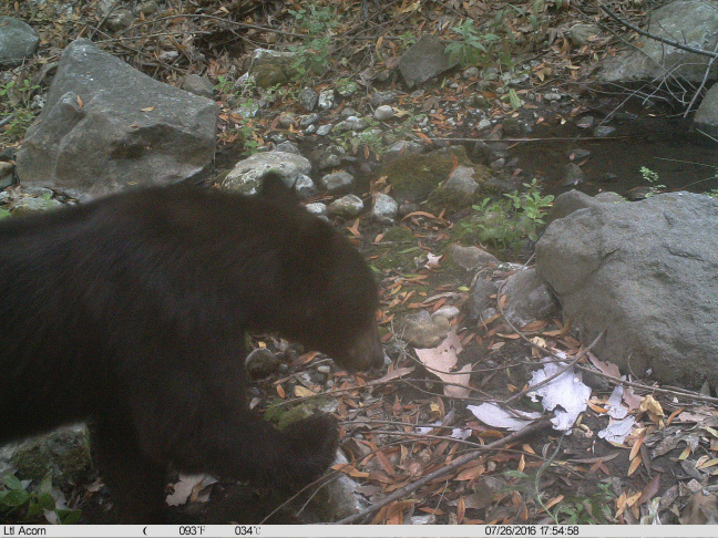 Camera traps picked up the presence of black bear in Malibu Creek State Park on July 26, 2016. There's no population of bears in the Santa Monica Mountains and it's rare for a bear to travel into those mountains.