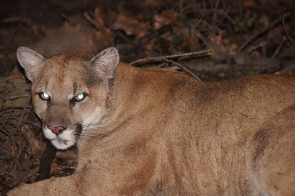 Mountain lion P-22, appearing territorial beneath a Griffith Park house