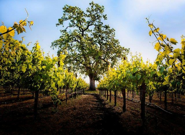 Photo of Russian River Vineyards.