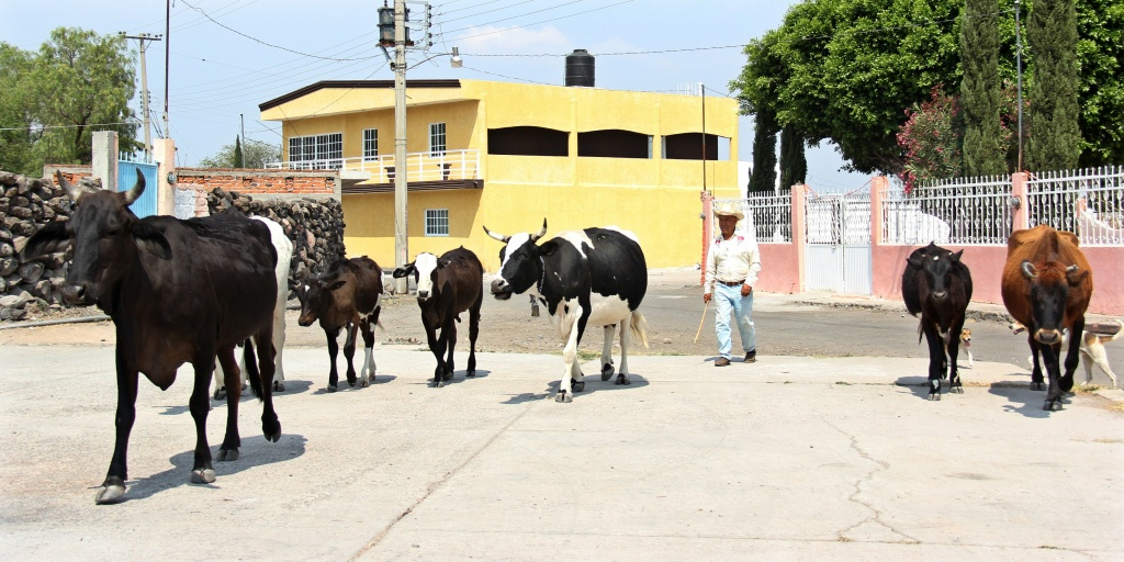 A herdsman drives cattle in Los Huesos, Guanajuato state, Mexico on April 26, 2013.