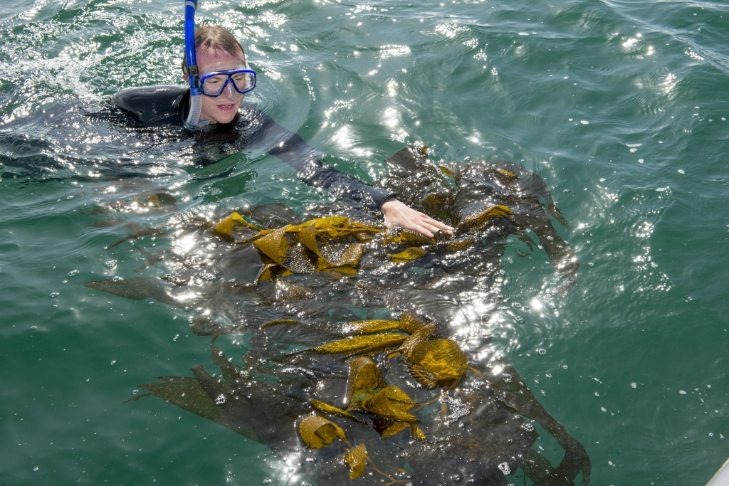 Researchers collect kelp samples for the first round of testing for Kelp Watch 2014.