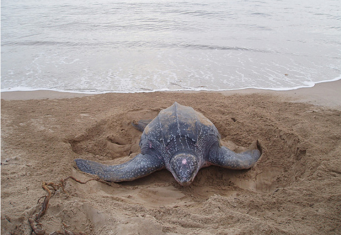 Leatherback sea turtle hiding its eggs.