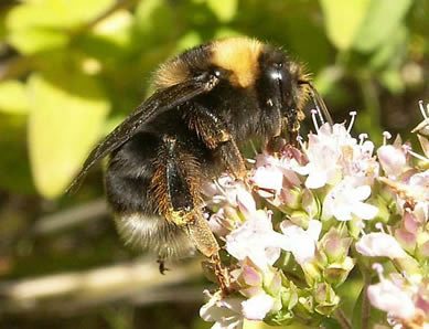 The western bumble bee was once very common in the western United States and western Canada. The workers have three main color variations.
