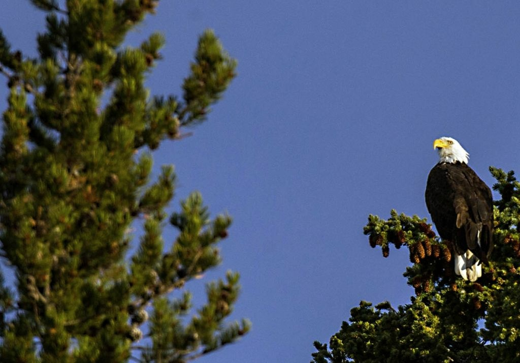 A Bald Eagle is seen October 8, 2012 in Yellowstone National Park in Wyoming.Yellowstone National Park is America's first national park. .