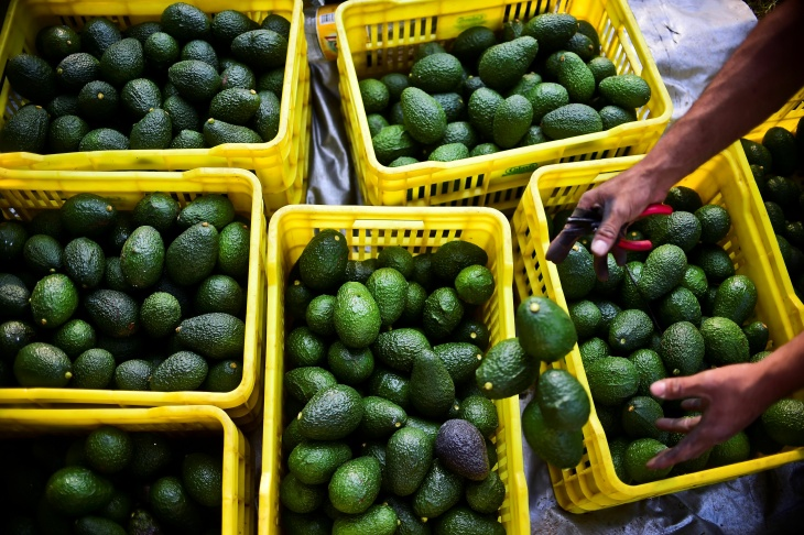 File: A farmer harvests avocados at an orchard in the municipality of Uruapan, Michoacan State, Mexico, on Oct. 19, 2016.