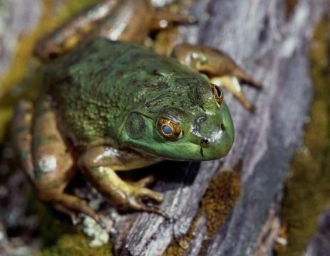 American bullfrog at the E.E. Wilson Wildlife Management Area in the Willamette Valley.