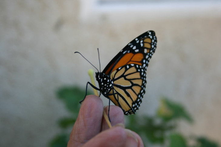 Western Monarch Butterfly in Huntington Beach