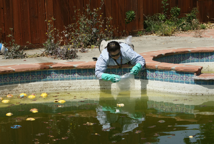 Contra Costa County Mosquito and Vector Control District technician Josefa Cabada releases a bag of Gambusia affinis, better known as