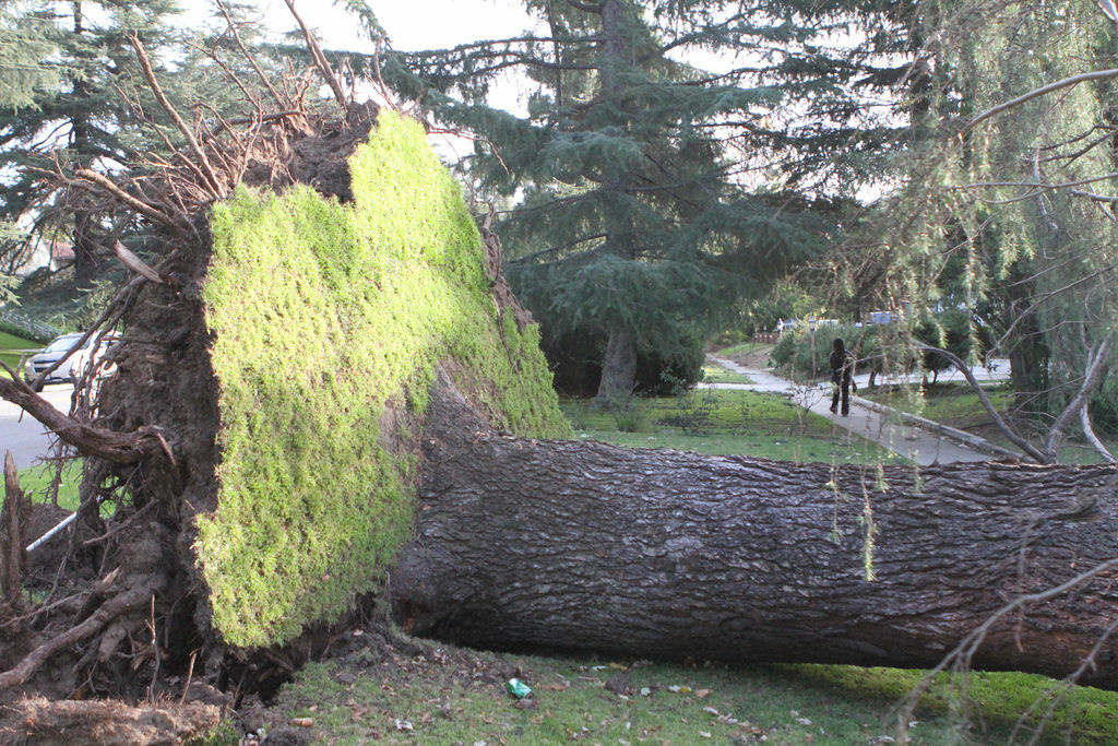 A large tree near Los Feliz Blvd. was uprooted by strong winds near Griffith Park last year.