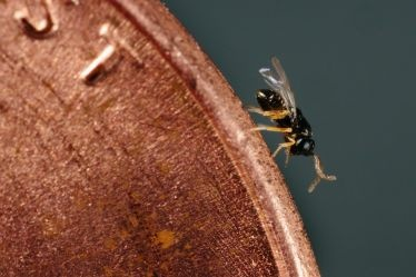 Diaphorencyrtus aligarhensis, a natural enemy of the Asian citrus psyllid, is seen here on the edge of a penny.