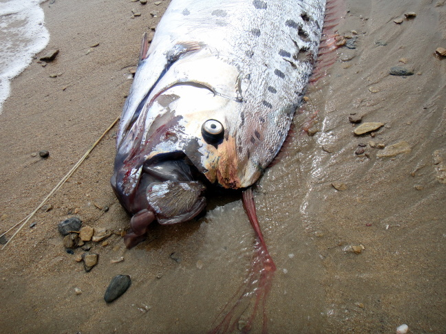A 15-feet-long oarfish was found on the shore of Sandy Beach on Catalina Island Monday.