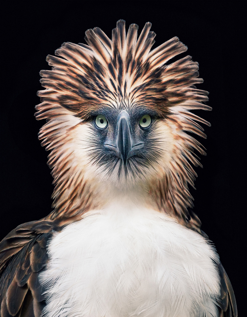 The Philippine eagle <em>Pithecophaga jefferyi</em> faces extinction from mining, pollution and poaching.