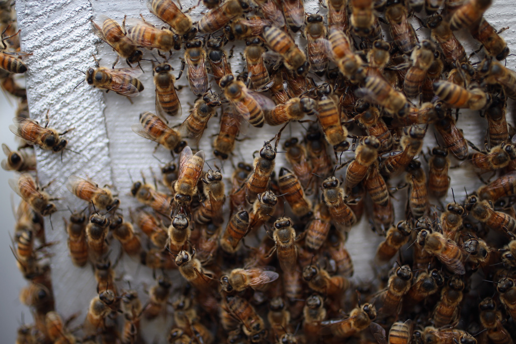HOMESTEAD, FL - APRIL 10:  Honey bees are seen at the J & P Apiary and Gentzel's Bees, Honey and Pollination Company on April 10, 2013 in Homestead, Florida.  (Photo by Joe Raedle/Getty Images)