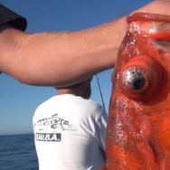 rockfish Barotrauma video still