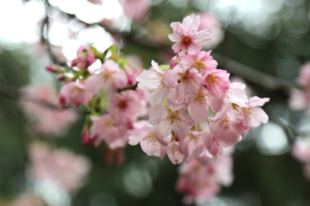Close-up of 'Pink Cloud' cherry blossoms, Descanso Gardens