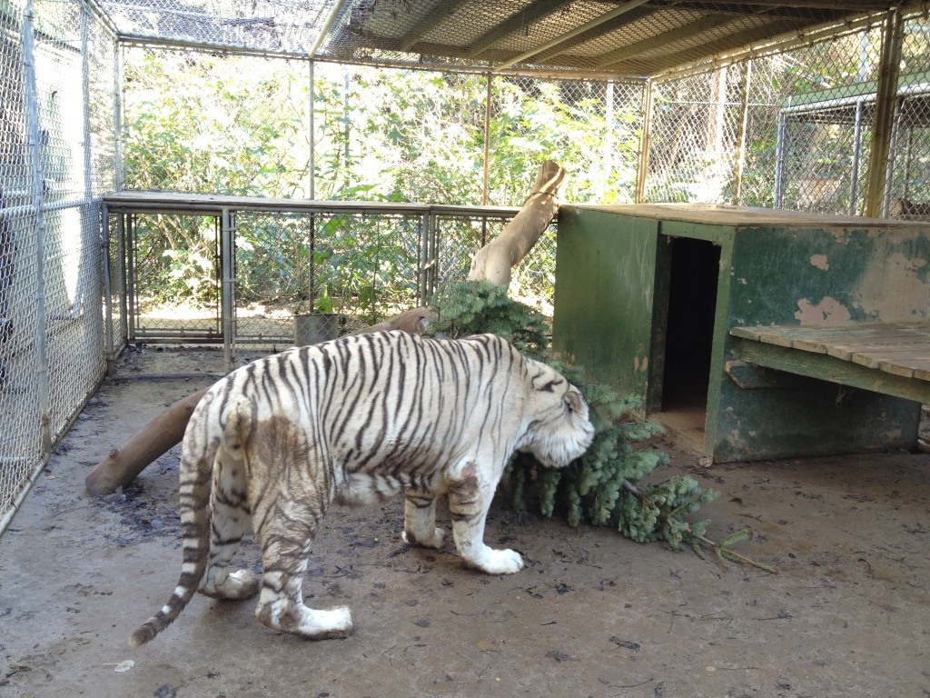 One of the old tigers at the Wildlife WayStation sanctuary inspects a Christmas tree inside his cage.