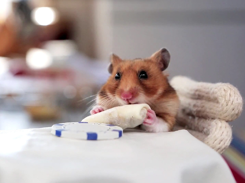 This hamster scarfed two mini-burritos in a matter of seconds.