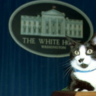 Socks, the White House cat, sits atop the podium i
