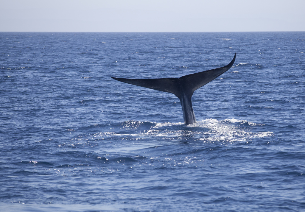 A blue whale takes a deep dive off of the Long Beach coast. While the blue whale is commonly seen off of the California coast until October, warmer water is bringing marine life into the area that is normally seen farther south near Mexico.