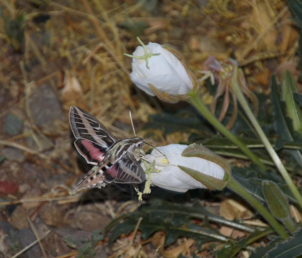 As adults, white-lined Sphinx Moths can have wingspans of more than 5 inches. A sphinx moth feeds in a Tufted Evening-Primrose flower in San Manuel, AZ.