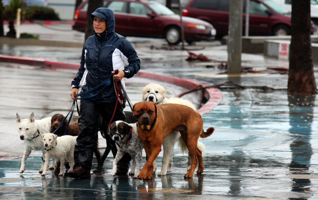 Dog Walker Dorothy Agius-Bennett takes pets for a stroll.