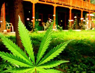 Marijuana plant grows in garden.