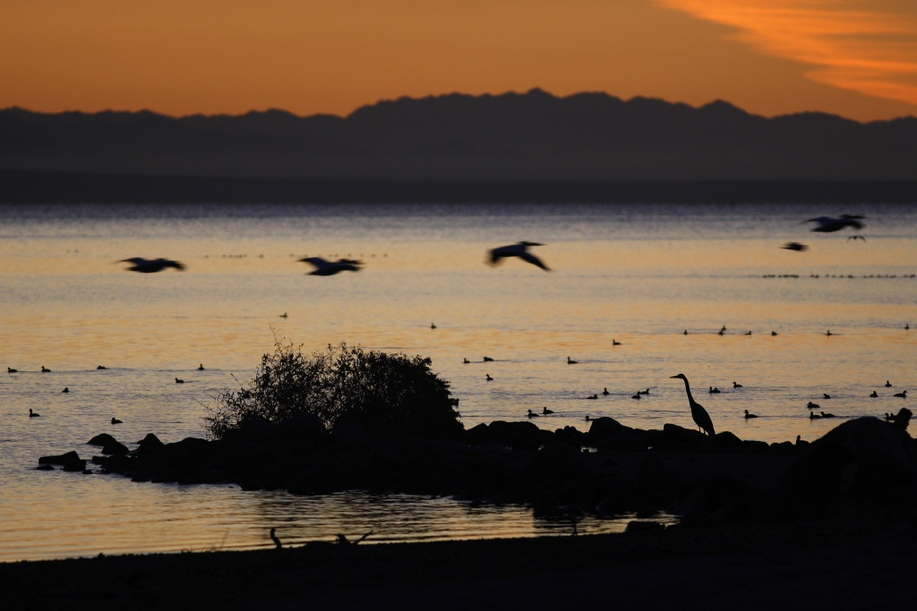 Pelicans fly over a great blue heron on the shore of the Salton Sea on March 21, 2012 south of Mecca, California.